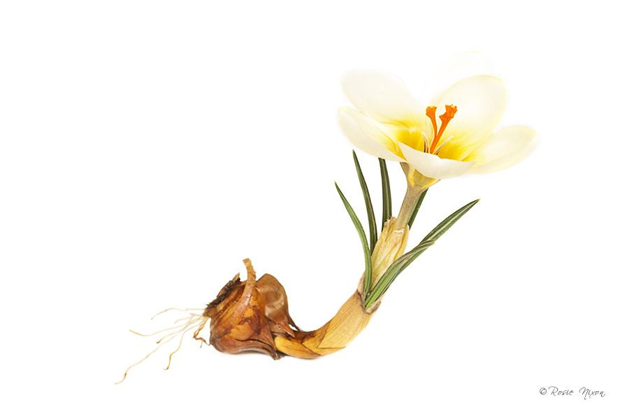 Crocus chrysanthus 'Cream Beauty'