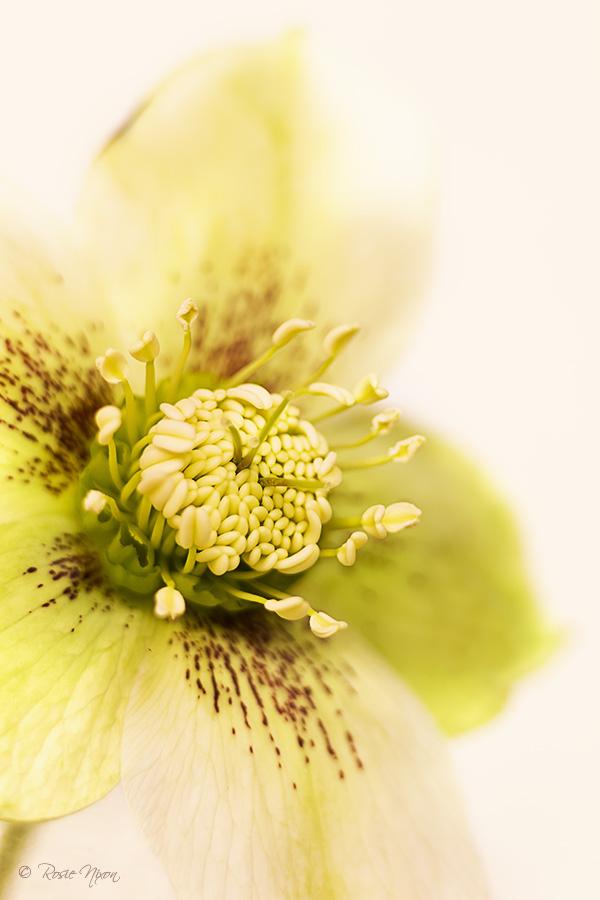 February garden flowers - Helleborus hybridus