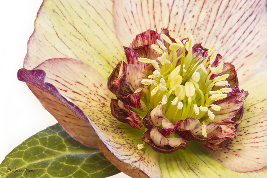 February garden flowers - Hellebore anemone Picotee macro flower