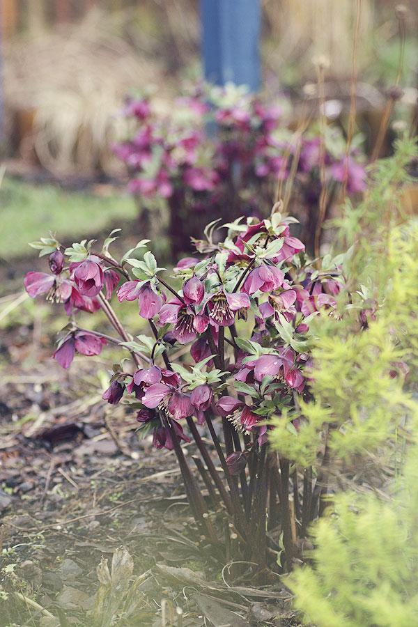 Lenten roses in flower in February