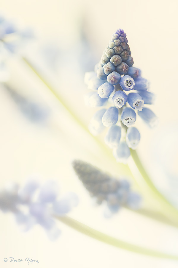 Muscari Valerie Finnis grape hyacinth