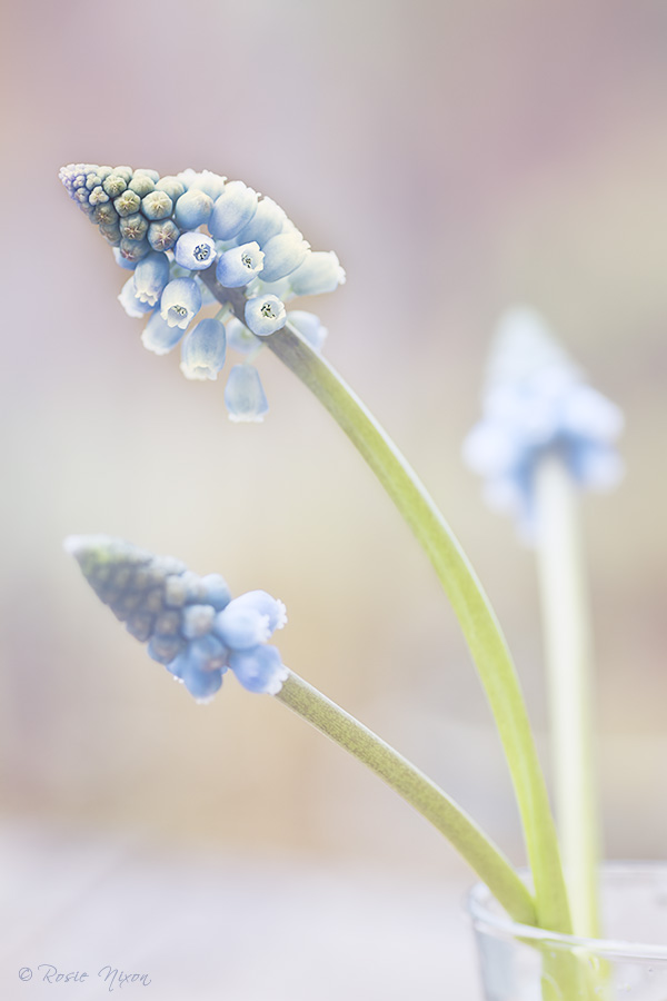 Muscari armeniacum 'Valerie Finnis' with the sterile flowers