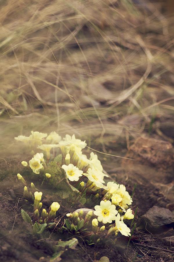 Primula vulgaris 'Emily'
