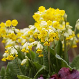 this is an image of yellow cowslips