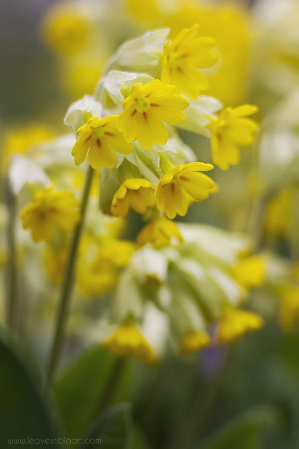 Cowslip Primula veris Cabrillo yellow