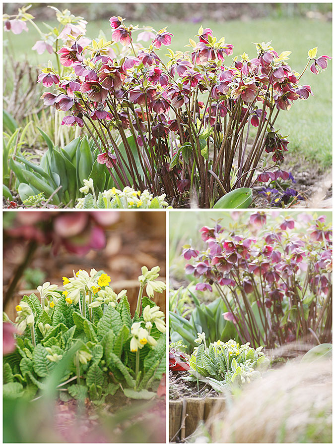 Hardy perennial flowers Lenten roses and English Cowslips in flower in the March garden