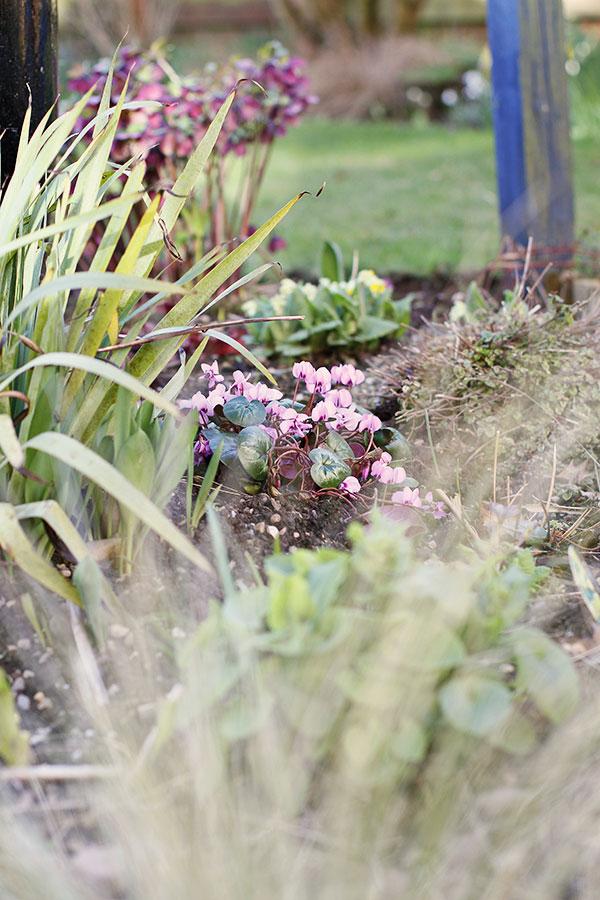 Hardy perennial flowers Cyclamen coum | Sowbread in flower in the March garden