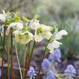 hellebore nigra in march