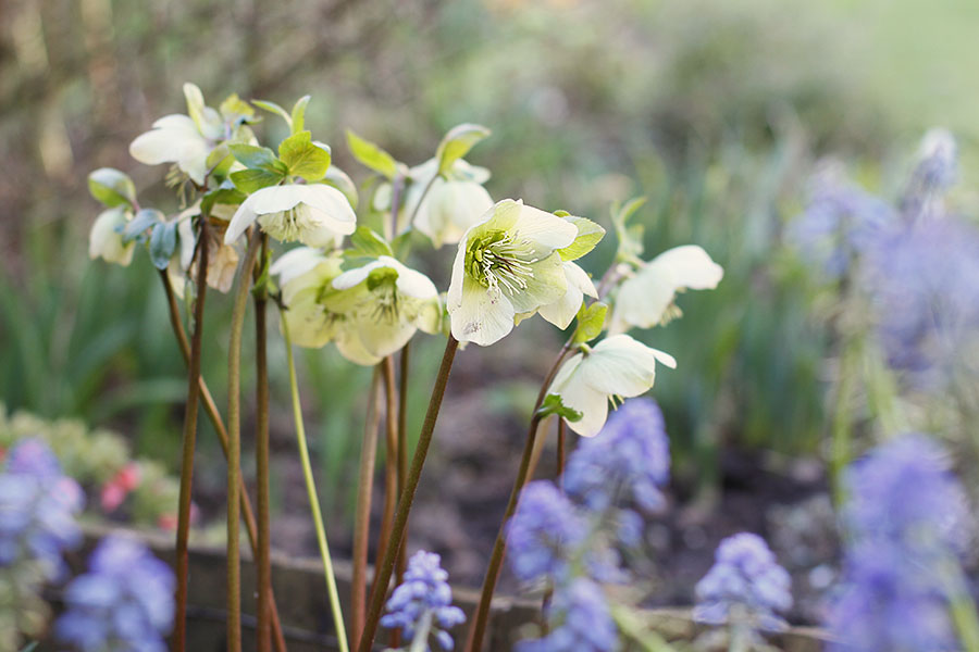 Hardy perennial flowers Hellebore niger with Muscari armeniacum 'Valerie Finnis'