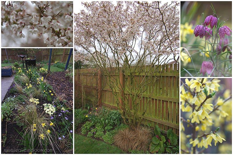 Prunus Incisa Kojo No Mai Cherry Tree Pruned Using The La Taille