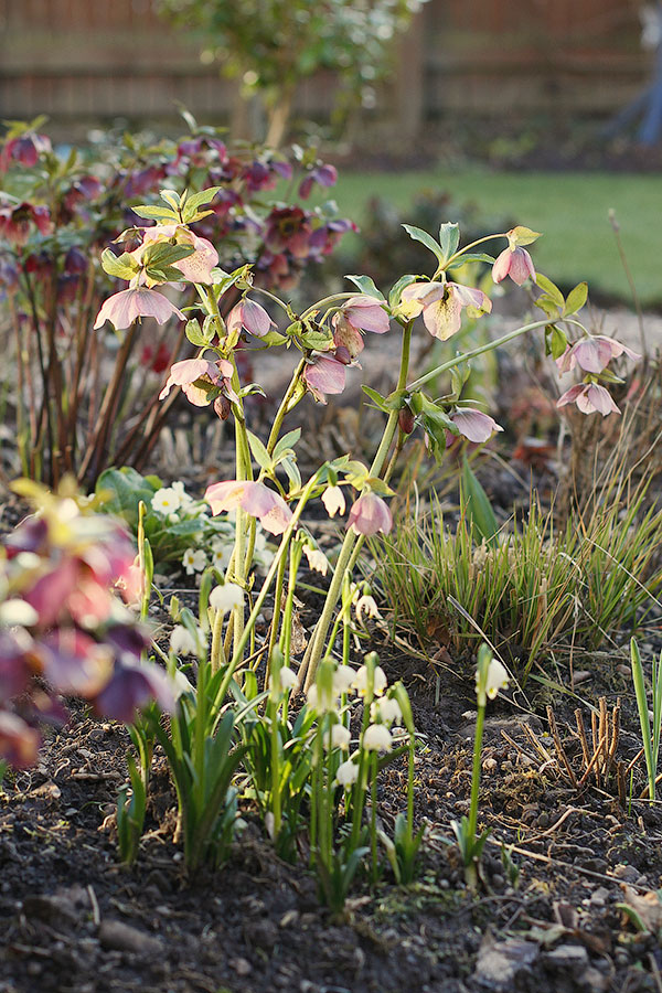 Hardy perennial flowers pale pink hellebore growing alongside snowflake bulbs
