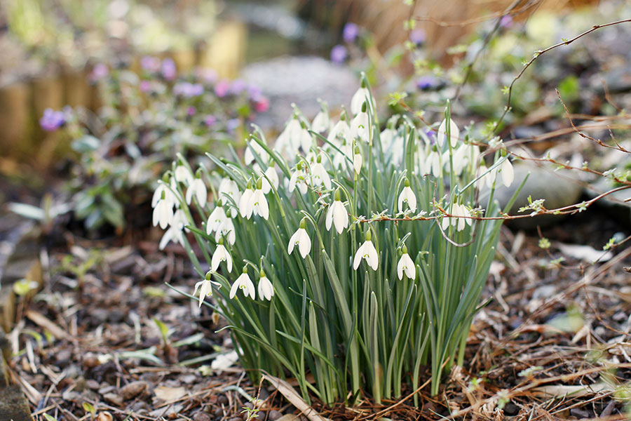 single flowering snowdrops - Galanthus nivalis in flower in March