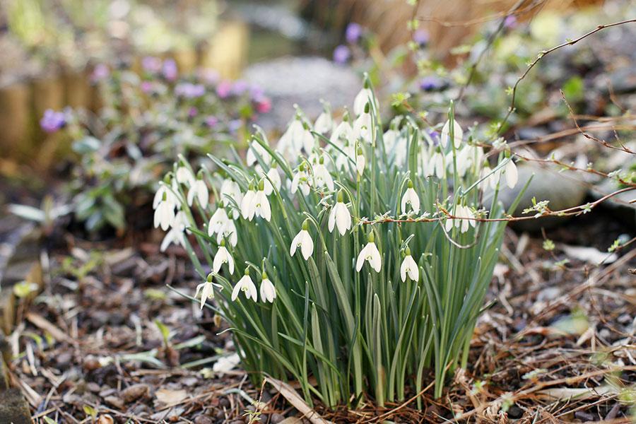 single flowering snowdrops - Galanthus nivalis in flower in March