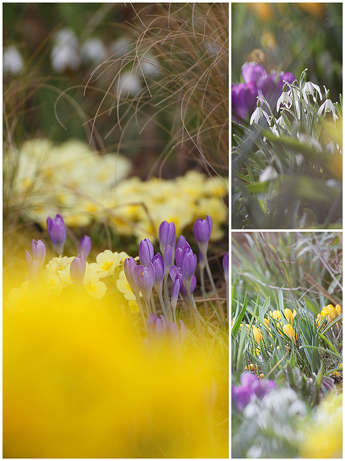 Hardy perennial flowers pale yellow Primrose Emily, Stipa grass, Yellow crocus and snowdrops