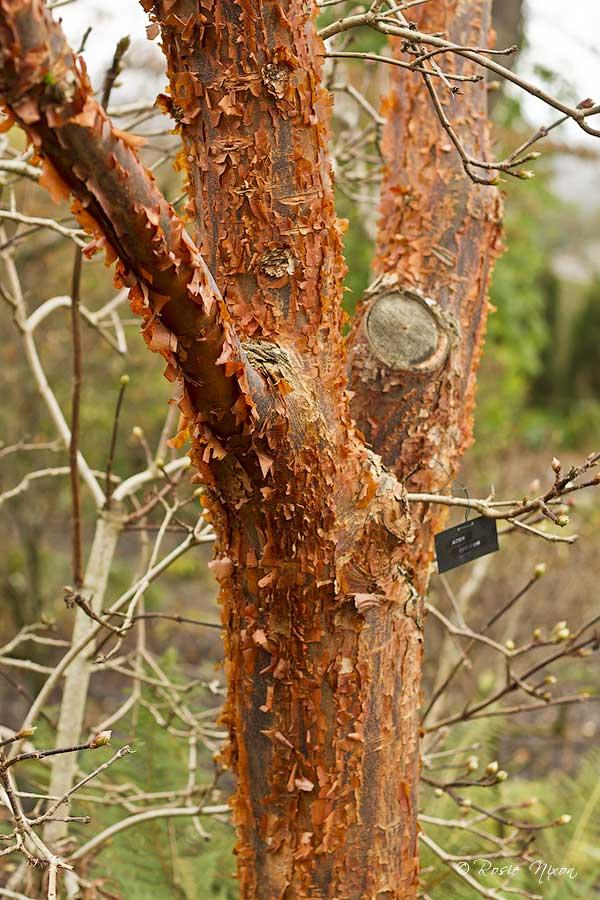 Winter Interest Plants - Acer griseum peeling bark at Branklyn