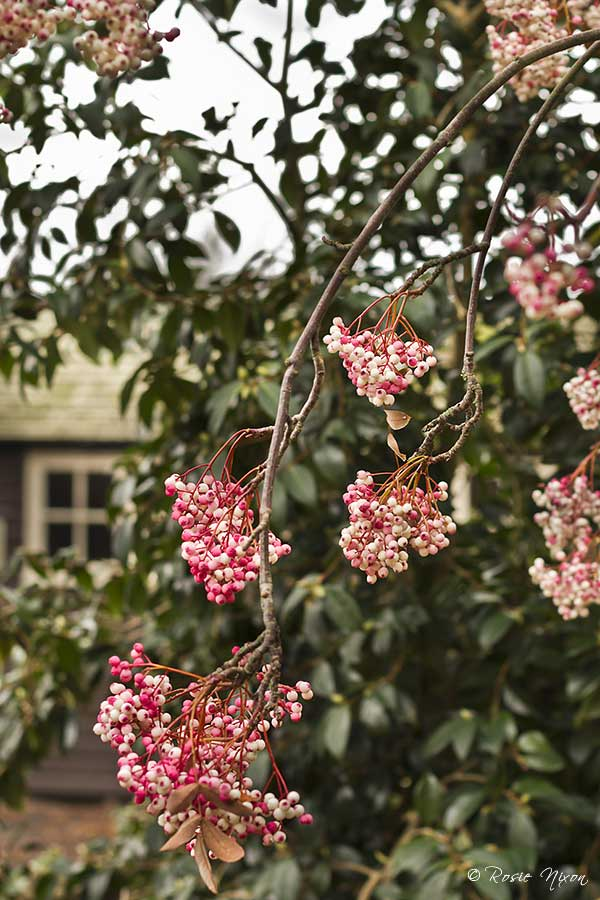 Winter Interest Plants - One of the smaller sorbus trees in the garden opposite the shop with pink berries