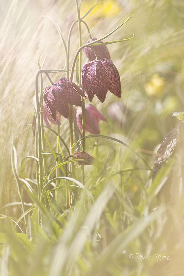 snakes head fritillary - Fritillaria meleagris