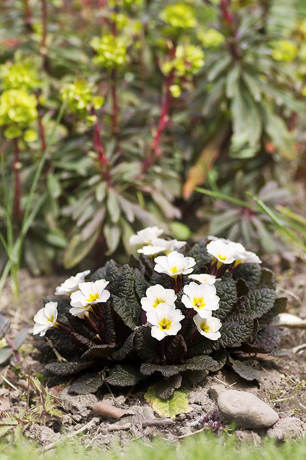 Primula Drumcliff with white flowers with just a slight hint of lavender