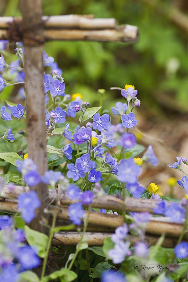 Omphalodes cappadocica 'Cherry Ingram' with yellow lesser celandine double flowers growing through them.