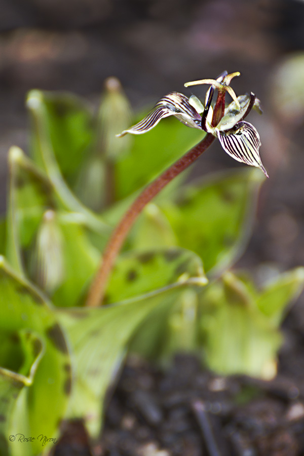 Branklyn Garden Rare February Flowers - this is a macro image of the rare Scoliopus hallii
