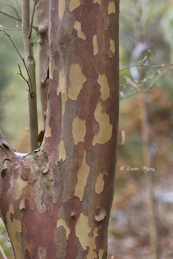 Winter Interest Plants - colourful overlapping patchwork layers of Stewartia monadelpha bark