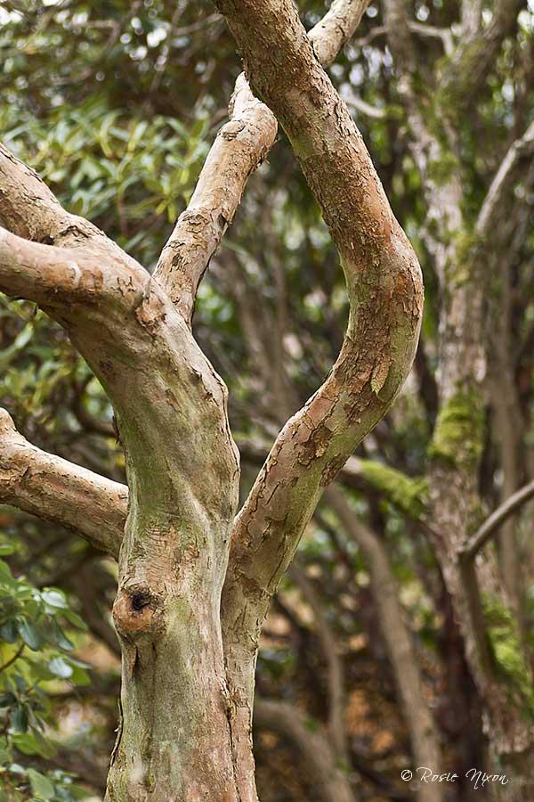 Winter Interest Plants - Stewartia pseudocamellia ornamental bark at Branklyn
