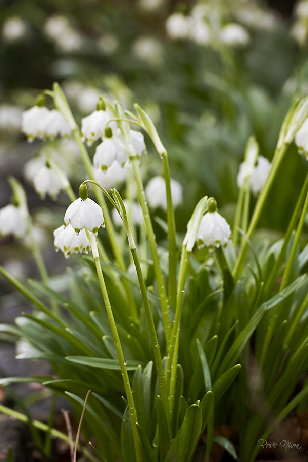 Branklyn Garden February Flowers - Leucojum vernum Spring snowflakes