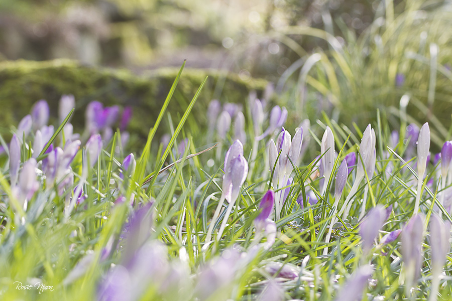 Tommies as they are commonly known are woodland crocus and are the first to start flowering in late winter.