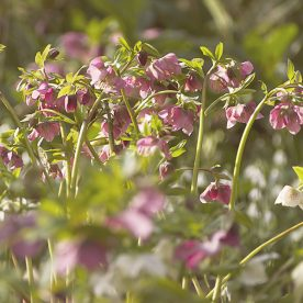 late winter hellebore flowers