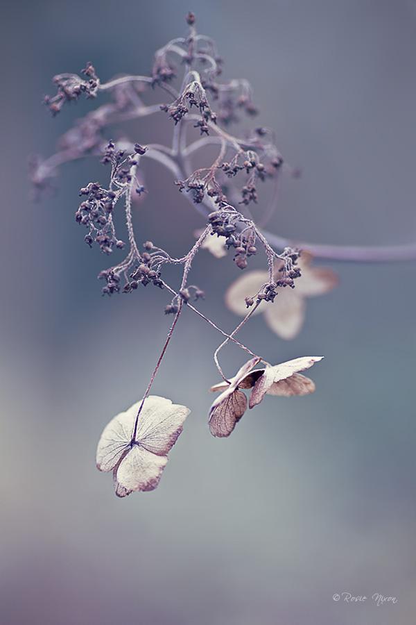 Winter Interest Plants - Hydrangea winter papery flowers at Branklyn