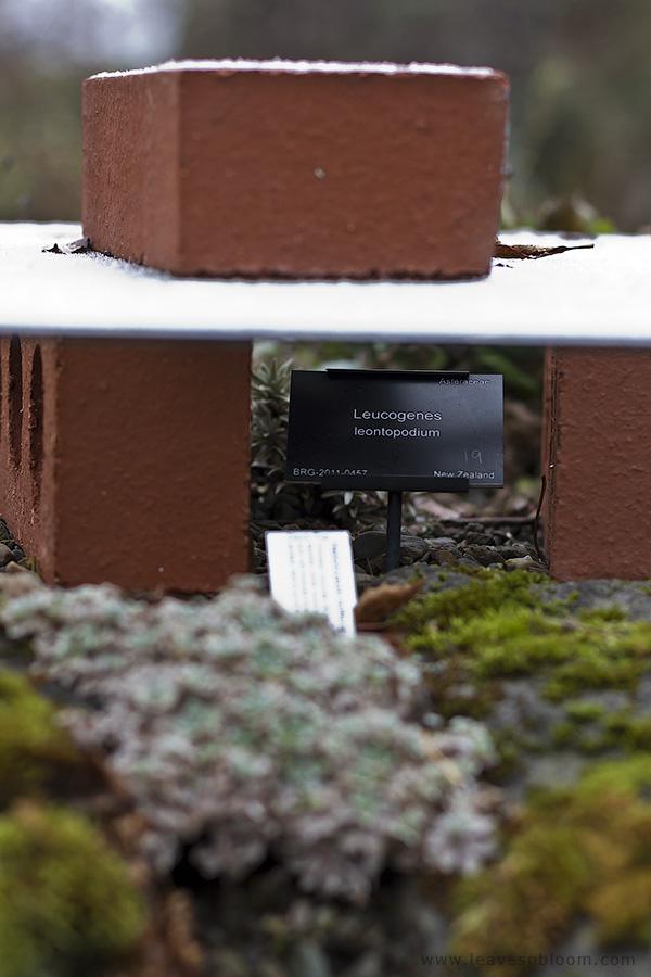 Leucogenes leontopodium winter protection