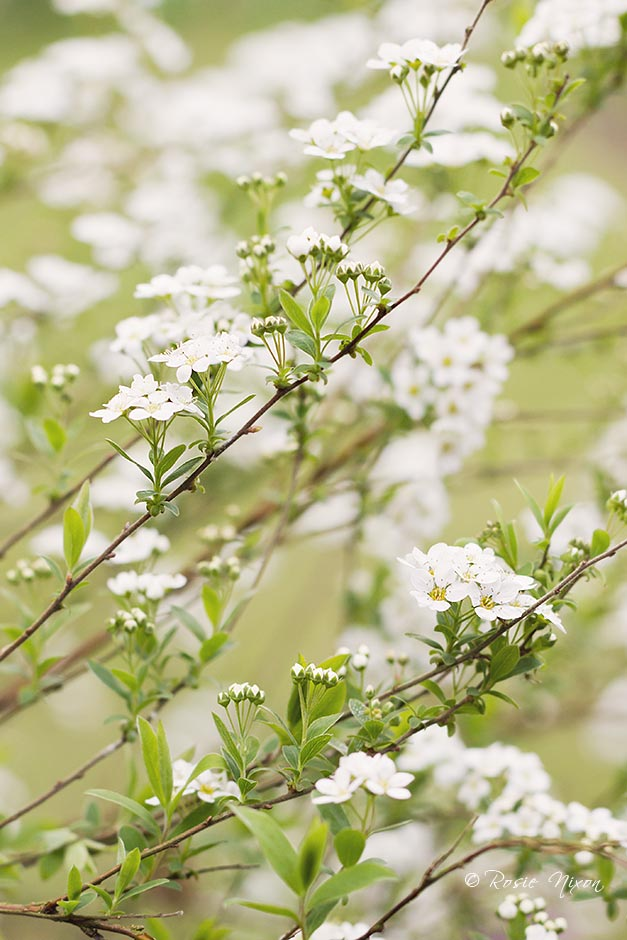 April blooms - white Spirea arguta