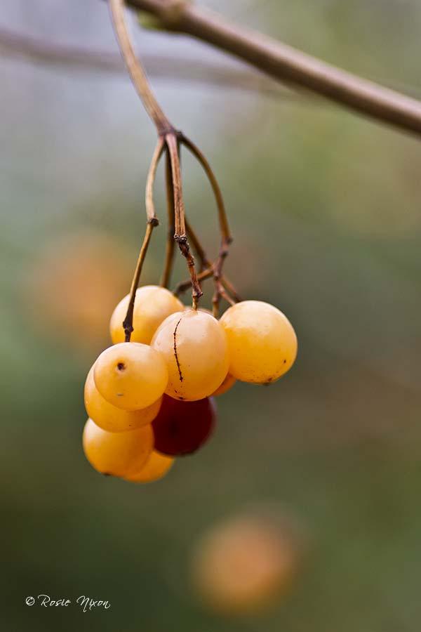translucent berries the size of grapes from Viburnum opulus 'Xanthocarpum'