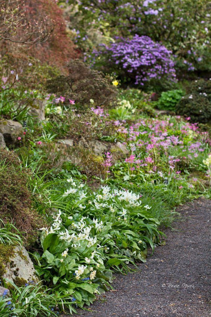 Either Erythronium 'White beauty' or E. Californicum alongside the pink Erythronium revolutum