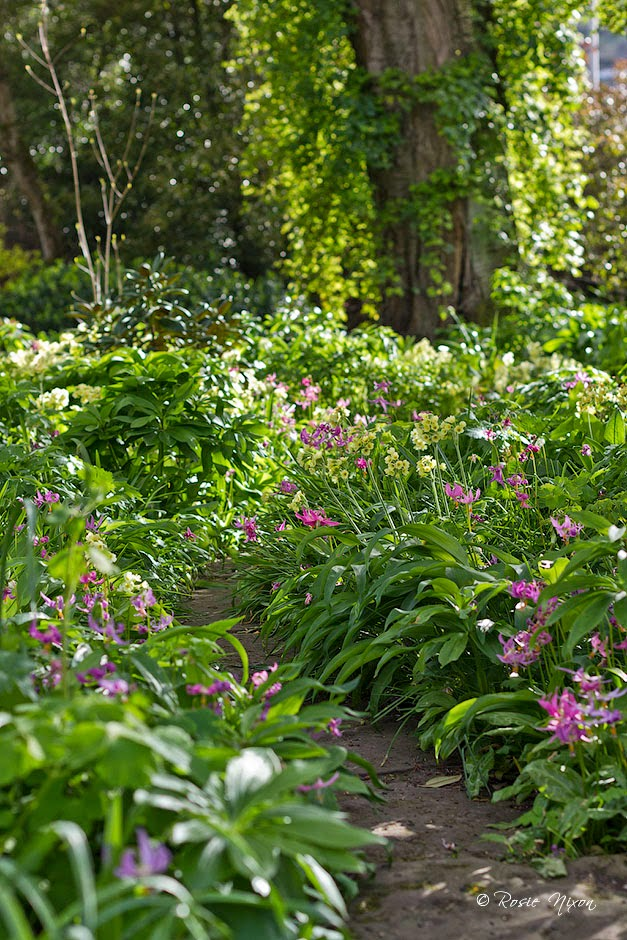 Erythronium revolutum arising from a froth of oxlips at sunset