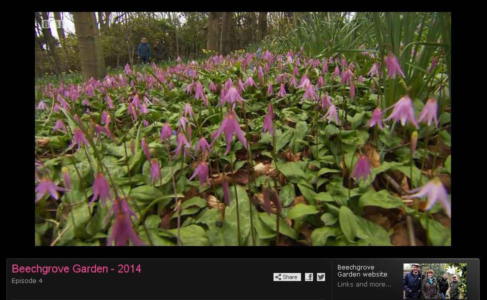 Erythronium revolutum growing in the woodland at Wemyss Castle in Fife