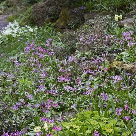 this is an image of pink Erythronium revolutum carpeting the woodland floor in spring