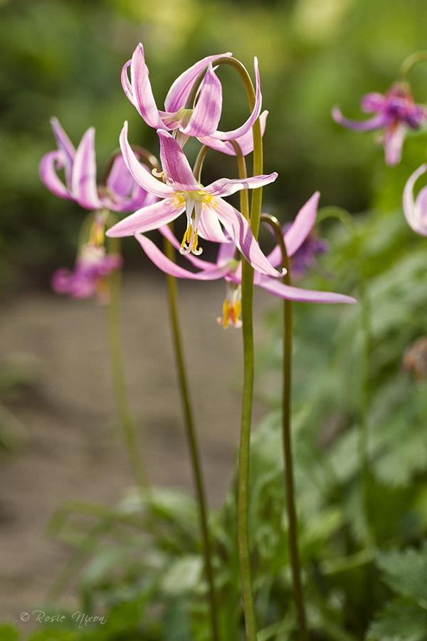 with slightly reflexed petals on tall stems around 30 - 40 cms high