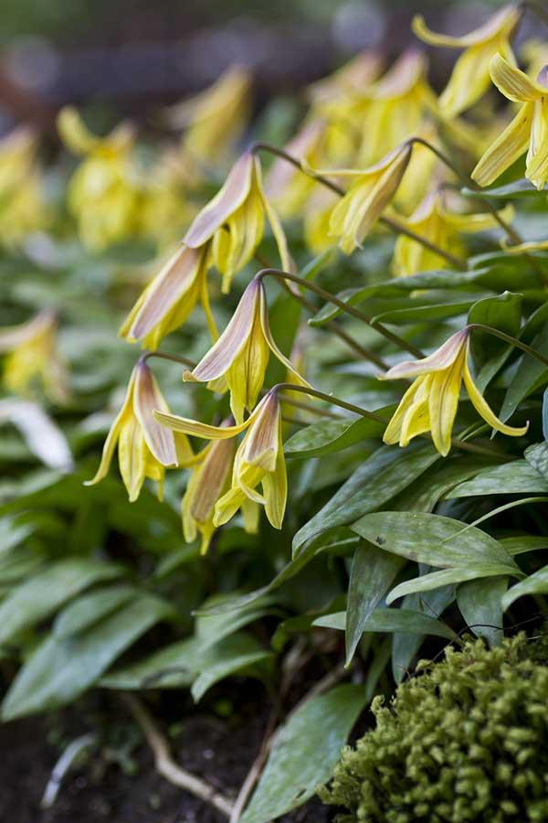 yellow erythroniums