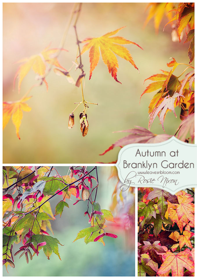 Autumn colour Branklyn Garden with acers and liquidamber leaves