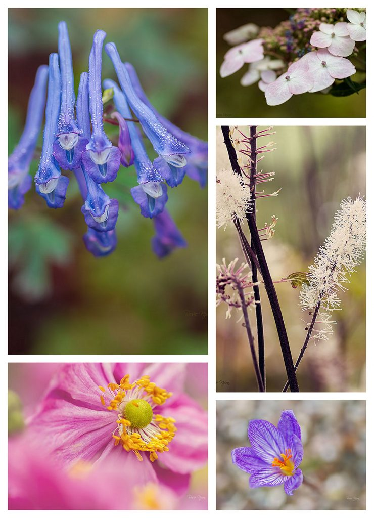 Autumn colour Branklyn Garden - Blue corydalis, White Cimicifuga, pink Japanese anemone and autumn crocus