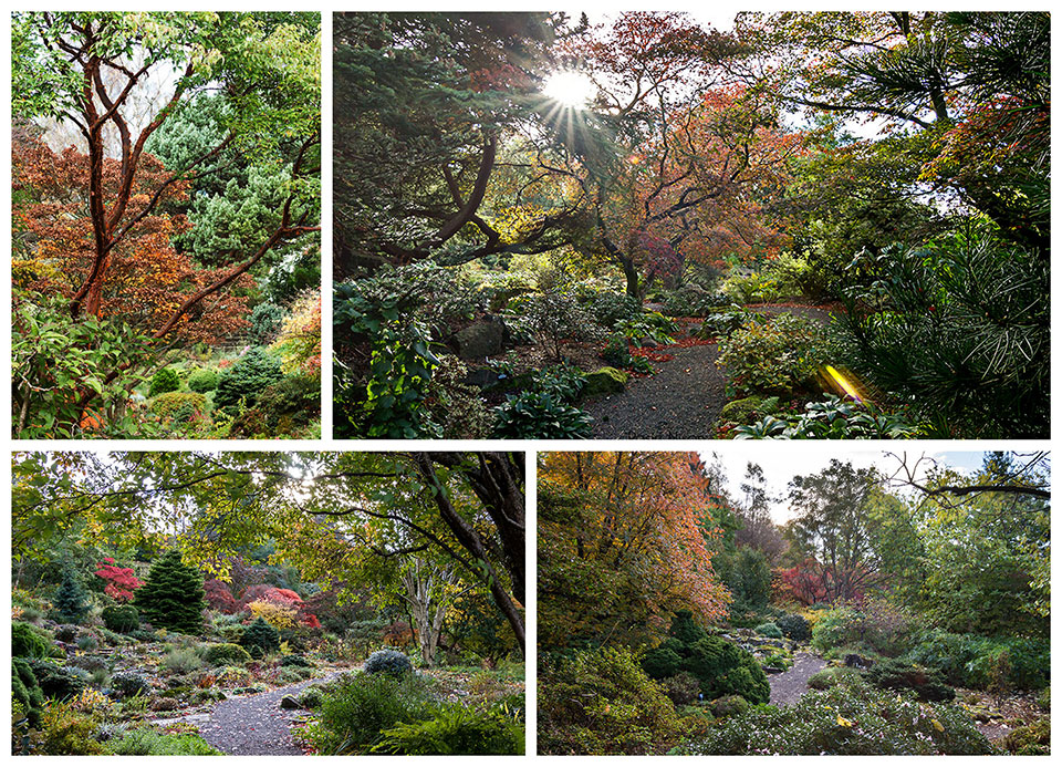 Autumn colour Branklyn Garden - Little pockets of autumn colour in among the evergreens