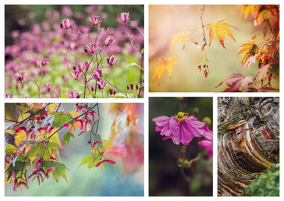 Autumn colour Branklyn Garden - Pink Toad lilies/ Tricyrtis formosana, acer seed wings, pink japanese anemone and the ornamental bark from the Prunus serrula