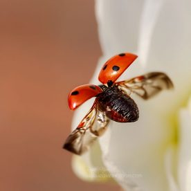 high speed continuous shooting - this is an image off a 7 spot ladybird flying off a white bridal crown daffodil