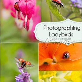 Photographing Ladybirds