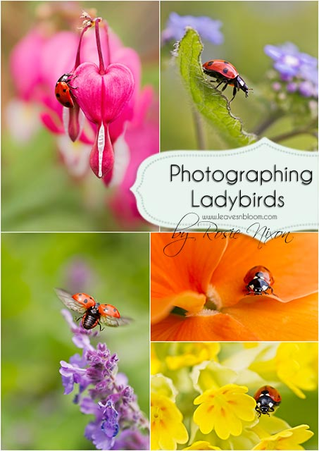 this is a coallage of different ladybirds in my garden