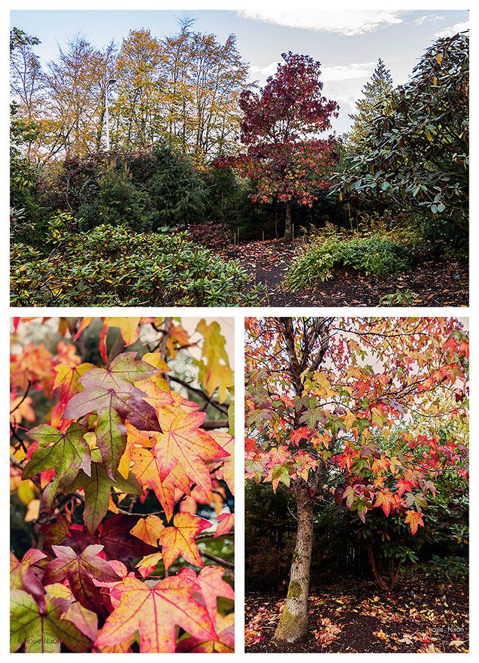 Autumn colour Branklyn Garden - Liquidambar styraciflua 'Worplesdon' autumn foliage