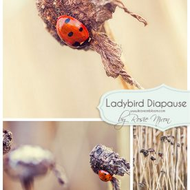 Ladybird Winter Diapause
