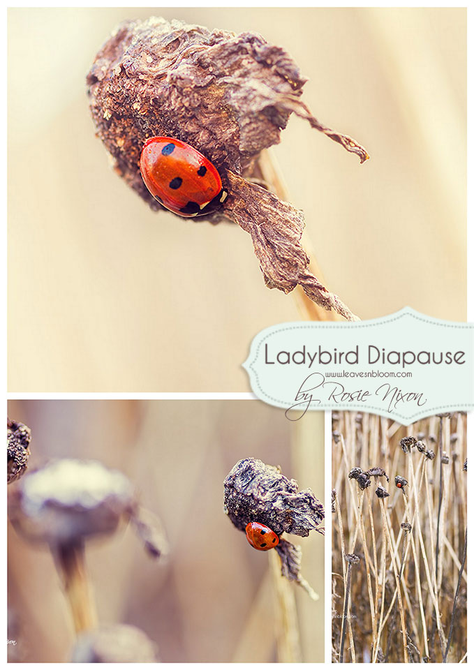 this is an image of a ladybird pausing during the winter