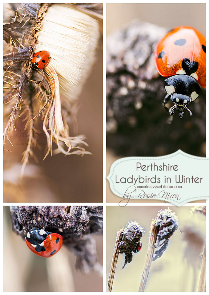 this is an image of ladybirds in winter